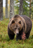 Big brown bear in forest Stock Image