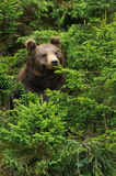 Big brown bear in the forest. In the summer royalty free stock photos