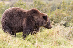 Big Brown Bear in Grass Royalty Free Stock Photo