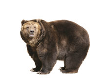 Big brown bear. Isolated on white background stock photography