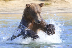 Big brown bear jumping for fish. Big brown bear fishing for salmon royalty free stock image