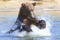 Big brown bear jumping for fish Royalty Free Stock Image