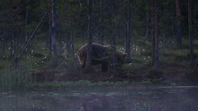 Big brown bear at lakes edge grazing stock footage