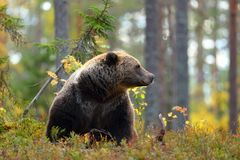 Big brown bear looking at side in a forest stock photos