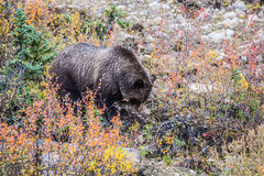 Big brown bear looking for stems of grasses Royalty Free Stock Images