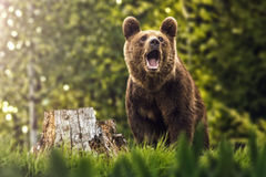 Big brown bear in nature or in forest, wildlife, meeting with bear, animal in nature.  royalty free stock photography