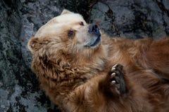 Big brown bear near the mountain Royalty Free Stock Photos
