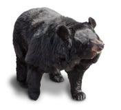 Big brown bear Royalty Free Stock Image