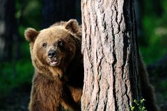 Big Brown Bear portrait. In the forest Royalty Free Stock Photos