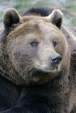 Big Brown Bear portrait Royalty Free Stock Photography