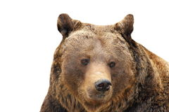 Big brown bear portrait over white Royalty Free Stock Photo
