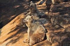 The big brown bear posing in the park - safari Stock Image