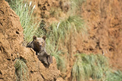 Big brown bear resting on the top of a cliff Royalty Free Stock Photography