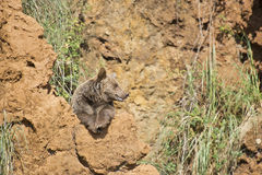 Big brown bear resting on the top of a cliff Royalty Free Stock Images