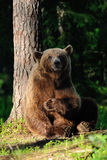 Big brown bear sitting. Against a tree Stock Photos