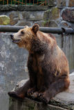 Big brown bear sitting on the edge Stock Image