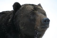 Big brown bear on snow Royalty Free Stock Photo