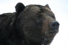 Big brown bear on snow. Brown big bear on snow Royalty Free Stock Photo