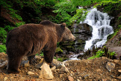 Big brown bear standing on a rock near a waterfall. In the forest stock photos