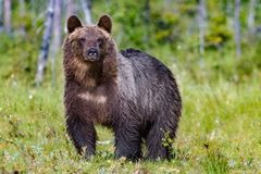 Big brown bear in summer forest stock image