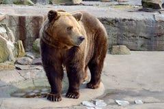 Big Brown Bear Royalty Free Stock Photography