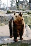 Big Brown Bear Stock Photos