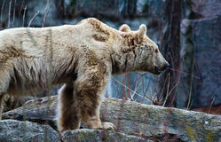 Big brown bear Ursus arctos. Standind on a stone Stock Image