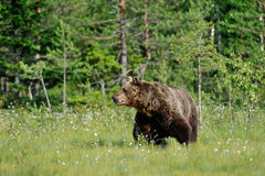 Big Brown Bear (Ursus arctos) in summertime Stock Photo