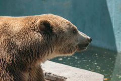 Big brown bear very fluffy Royalty Free Stock Images