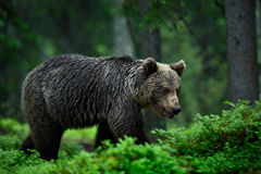 Big brown bear walking around forest in dark evening. Dangerous animal in the forest. Wildlife scene from Europe. Brown bird in th Royalty Free Stock Image