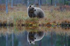 Big brown bear walking around lake with mirror image. Dangerous animal in the forest. Wildlife scene from Europe. Brown bird in th. E nature habitat with water Stock Images