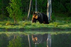 Big brown bear walking around lake in the morning sun. Dangerous animal in the forest. Wildlife scene from Europe. Brown bird in t. He forest royalty free stock image