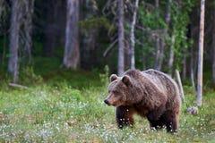Big brown bear Royalty Free Stock Photos