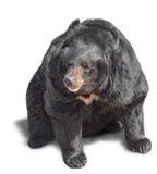 Big brown bear Royalty Free Stock Images