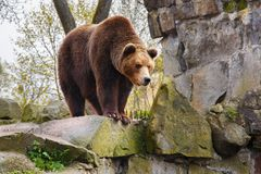 Big brown bear in a zoo. Big brown bear in a zoo on an artificial rock stock photos