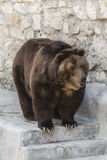Big brown bear in the zoo royalty free stock images