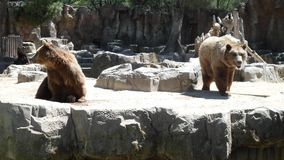 Big brown bears enclosure royalty free stock image