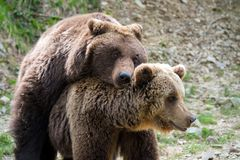 Brown bears mating in forest. Big brown bears mating in spring forest stock images