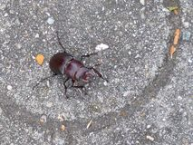 Big brown beetle. Walking on the road Stock Photo