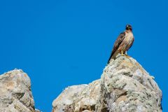 Hawk looking out royalty free stock images