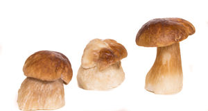 Big brown Boletus edulis mushrooms Royalty Free Stock Images
