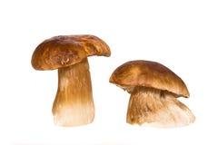 Big brown Boletus edulis mushrooms Royalty Free Stock Photos