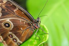Big brown butterfly on edge of green leaef.  stock image