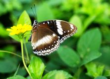 Free Big Brown Butterfly Small Yellow Flower Stock Image - 133637751