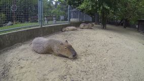 Big brown capybaras sleeping outdoors. Big brown capybaras, biggest rodents, sleeping outdoors on a cloudy summer day stock footage