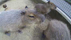 Big brown capybaras walking outdoors. Big brown capybaras, biggest rodents, walking outdoors in a sunny summer day and sniffing the action camera stock video