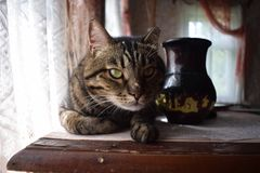 Big brown cat, cat on the table. Stock Photography