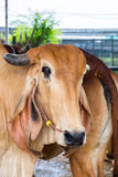 Big brown cattle cow Stock Images
