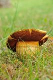 Big brown cmushroom Stock Image