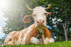 Big brown cow with a bell around the neck stock photos